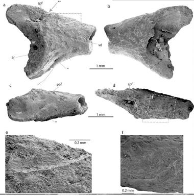 欧洲科学家团队在南极洲发现首个现存蛙类的化石