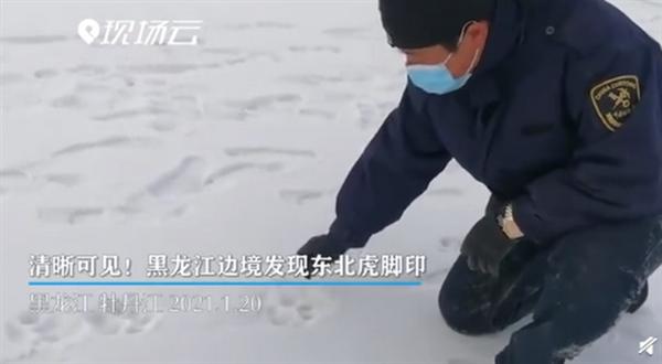 黑龙江边境发现野生东北虎脚印 专家鉴定为雌性东北幼虎足迹