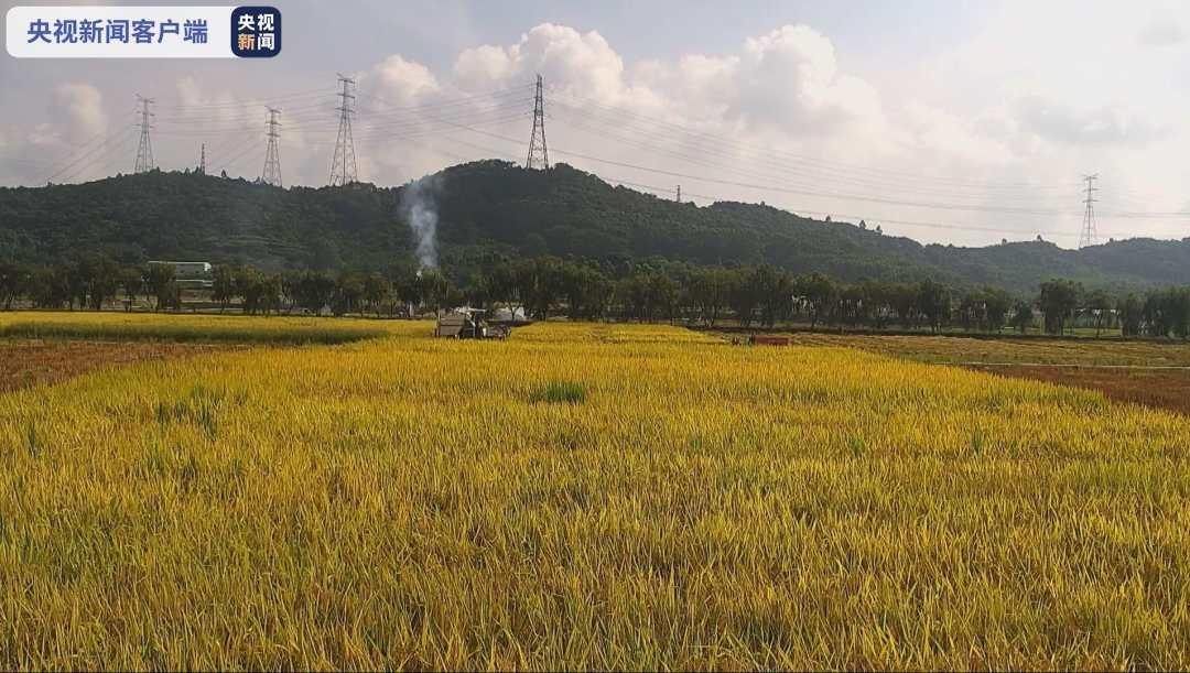 """""""太空稻""""迎来收割 有望成为100%中国原创的水稻新品种"""