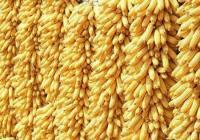 受多方面利好影响 玉米价格迎来反弹上涨